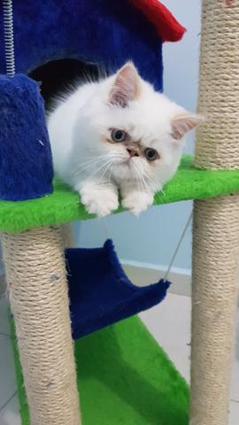 Vendo filhote de gato persa do - 20.5KB
