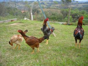Ovos galados de indio gigante genetica sitio faisao central
