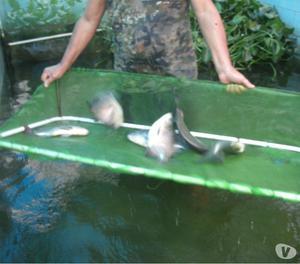Alevinos e Peixes