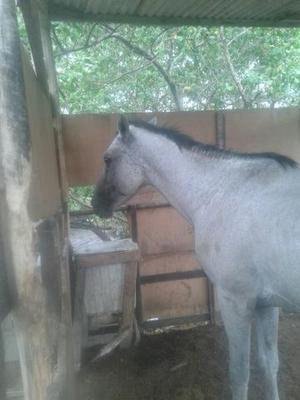 Cavalo intero com sangue de quarto de milha