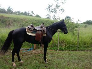 Cavalo quarto de milha op