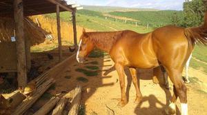 Cavalo quqrto de milha