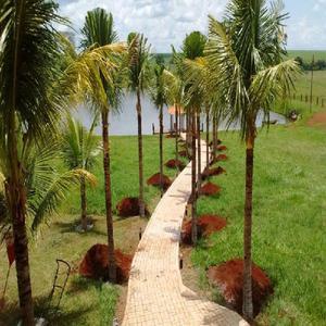 mudas de coco da bahia produzindo whats app (62)985701915