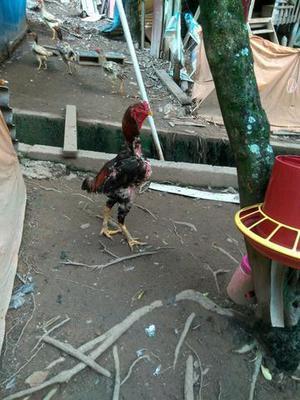 Venda de aves galinhas da raça índio gigante