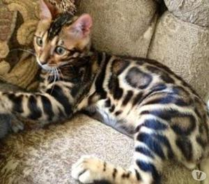 Ocelot Cat For Sale South Africa