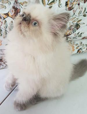 Gato persa himalaio blue point macho
