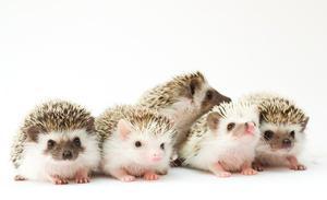 Hedgehog filhote