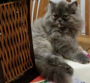 Lindos filhotes de gatos persas legítimos.Entrego em