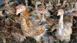 Lote 10 frangos caipiras pescoço pelado
