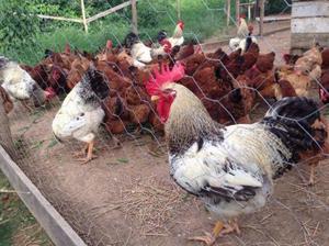 Vendo 16 galinhas caipiras vivas