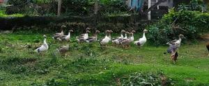Vendo Gansos e Patos.