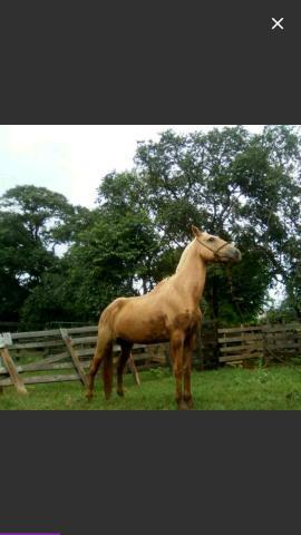 Vendo cavalo baio Marilho porte grade