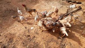 Vendo galinhas, galos e pintinhos