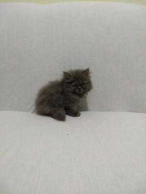 Vendo lindos filhotes de cães e gatos persas