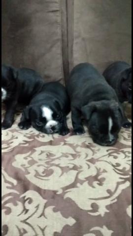 Lindos filhotes de Bulldog francês com pedigree