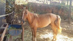 Cavalo mestiço com mangalarga