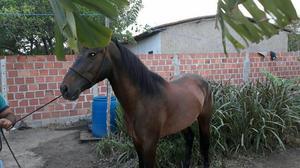 Cavalo quarto de milha com inglês