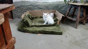 Vende se filhote de gato angora