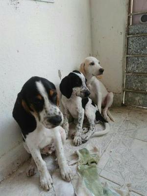 Vendo 3 cachorros, raça beagle com Fox Rand