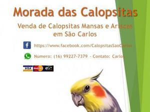 VENDA DE CALOPSITAS MANSAS E ARISCAS - MORADA DAS CALOPSITAS