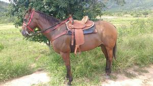 Cavalo QM puro sangue