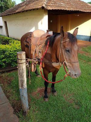 Cavalo castrado 1/2 sangue Quarto de Milha