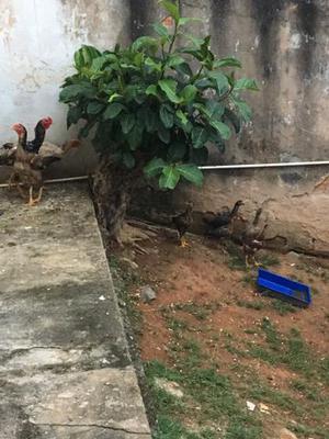 Galo índio gigante e galinhas