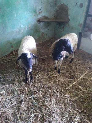 Junta de carneiros manso de carro