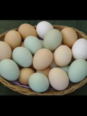 Ovos de Índio Gigante (Galados)
