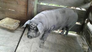 Porca caipira gorda