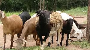 Venda de carneiros