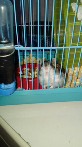 Vendo hamster leia a descrição