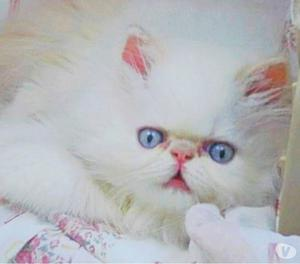 Filhotes de Gato Persa - Cores Variadas !!