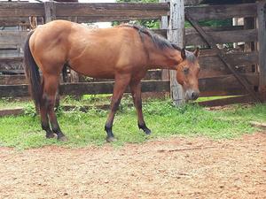 Cavalo Quarto de Milha PO e Registrado a venda