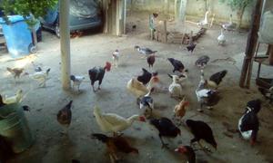 Galinhas Caipiras, Gansos e Patos