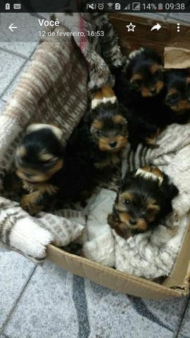 Lindos filhotes de yorkshire micro com pedigree