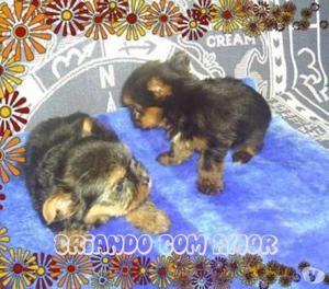 YorkShire Terrier Micro Filhotes de Excelente Linhagem