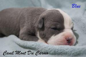 Filhotes de American Staffordshire Terrier - Canil Mont Du