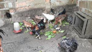 Galos e galinhas caipiras