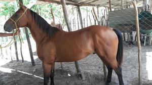 Vende-se: Cavalo quarto de milha