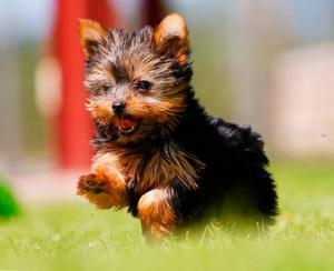 Yorkshire Terrier filhotes disponiveis