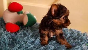 Yorkshire Terrier Fêmea Micro e Macho