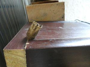 Iscas Pets com enxames de abelhas nativas sem ferrão