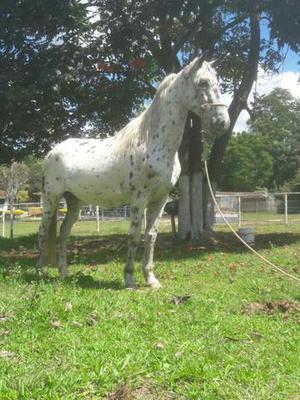 Vendo cavalo persa