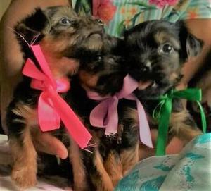Yorkshire Terrier Filhotes de Yorkshire Terrier Micro
