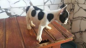 Filhotes de Bulldog francês puros 10x sem juros no cartão