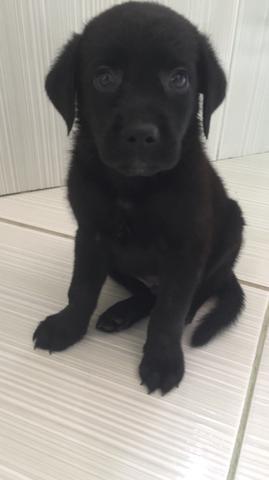 Labrador puro