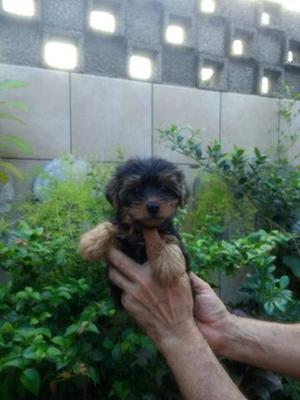 Lindo filhote macho da raça Yorkshire terrier
