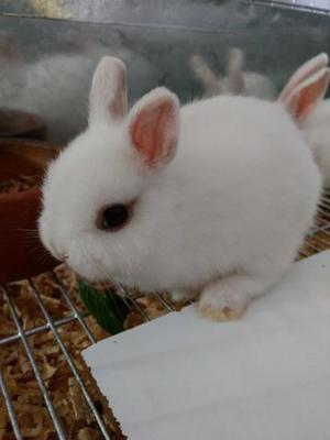 Casais de mini coelhos
