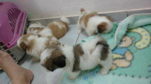 Filhotes lhasa Apso 45 dias